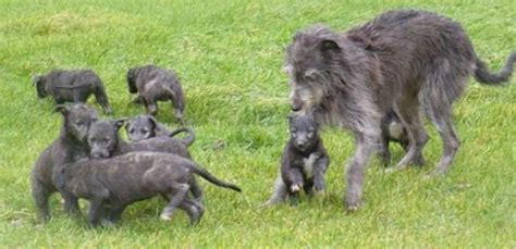 scottish deerhound puppies scottish deerhound breed information and images k9 research