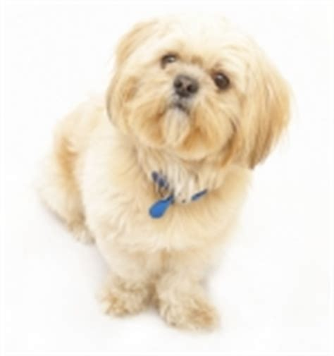 best breeds for small homes chenil la fiert 233 canine