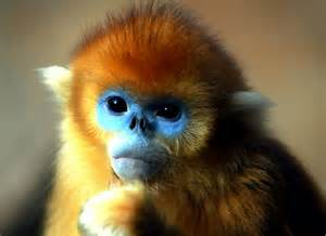 golden snub nosed monkey not like other monkeys   amo images   amo