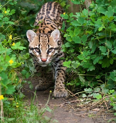 ocelot animal facts and information