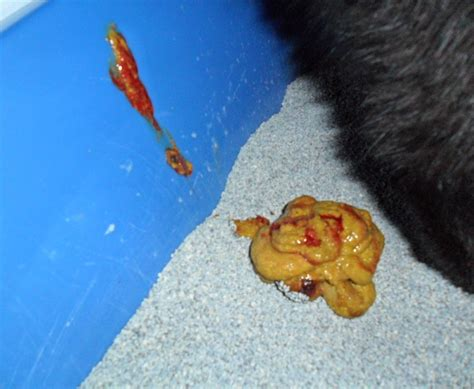 Blood And Mucus In Stool No by Should Blood Or Mucus In Cat S Be A Cause For Worry Vet Tips