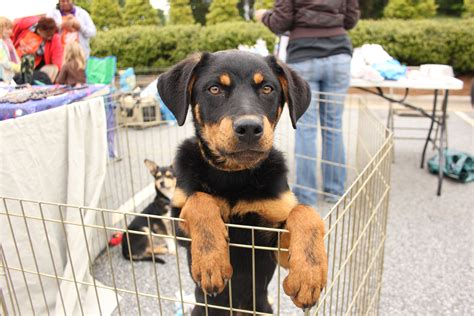 rescue puppies ma puppy ma cares artisan and pet adoption fair market america