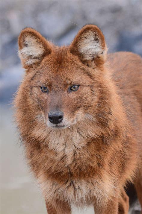 dhole puppy 74 best images about hondachtigen dhole cuon alpinus on