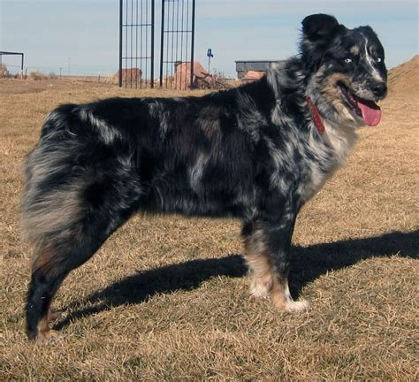 australian shepherd puppies colorado bonato aussies australian shepherd breeder byers colorado