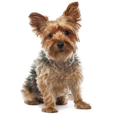 Yorkshire Terrier   Yorkshire Terrier Pet Insurance & Info