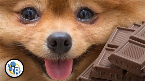 are dogs allergic to chocolate why is chocolate so bad for dogs