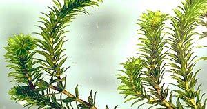contoh laporan fotosintesis pada tanaman hydrilla laporan kum laporan raktikum ingenhousz pada hydrilla