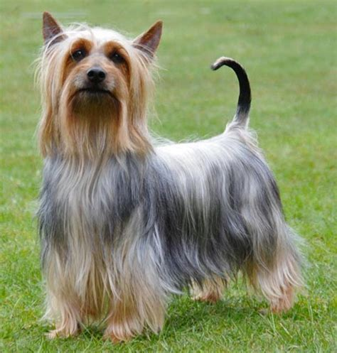 silky terrier puppy dogs list of all breeds k9 research lab