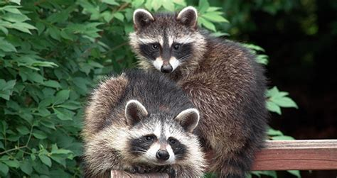 what to do if a raccoon is in your backyard what to do if in a room with a raccoon critter ridder texas