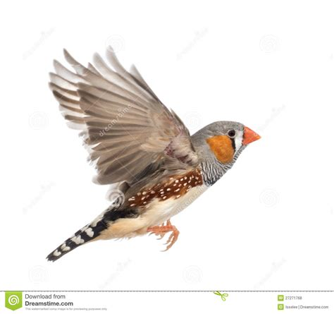 zebra finch flying taeniopygia guttata stock photo