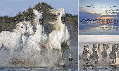 white camargue horses race  frances rhone river