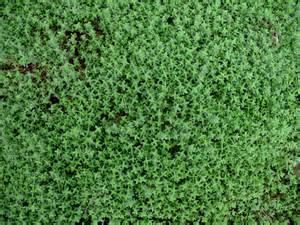 Thymus camphoratus thymus camphoratus onlineplantguide com 15588