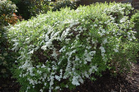 spiraea thunbergii landscape architect s pages