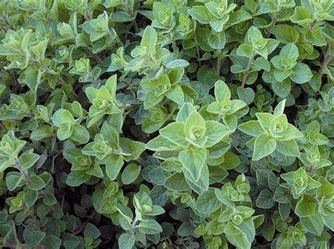 greek oregano seeds