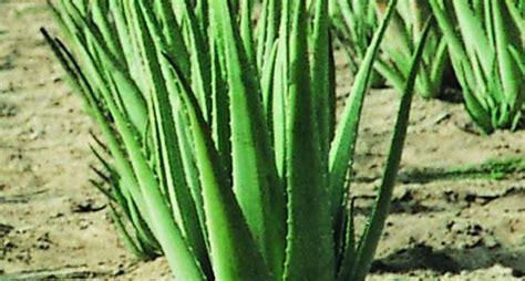 aloe vera in vaso aloe vera coltivazione aloe aloe vera come coltivarla
