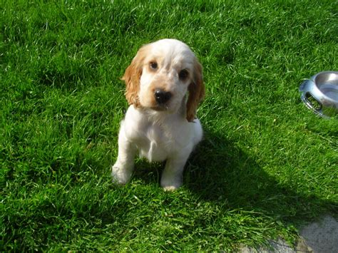 spaniel puppies for sale cocker spaniel puppies for sale lancashire pets4homes