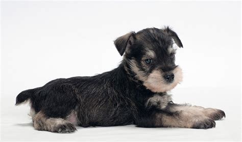 miniature schnauzer dog breed miniature schnauzer
