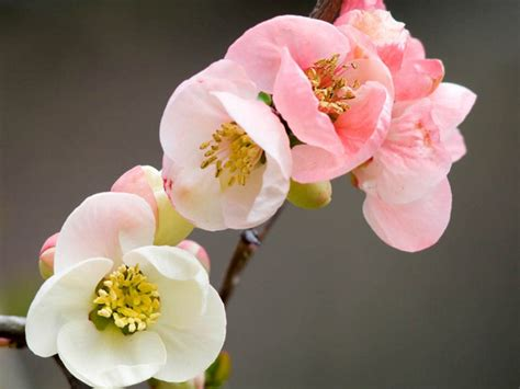 garden flowers the japanese quince thorny but beautiful lisa cox garden designs blog