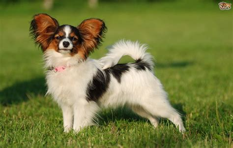 www dogs is the papillon a choice of pets4homes