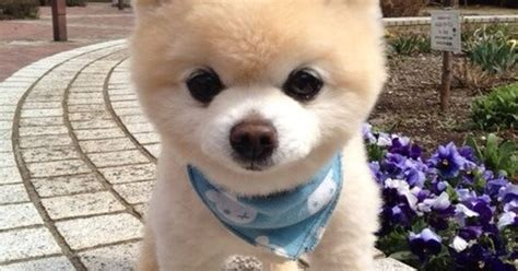 shunsuke pomeranian for sale shunsuke puppies for sale teddy cut pomeranian how the o
