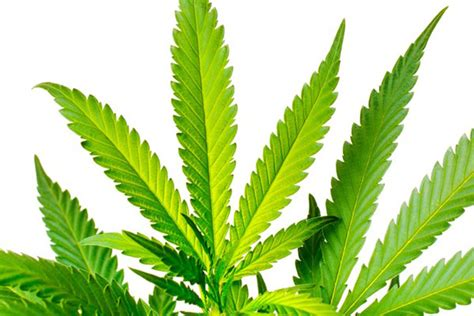 bhangz is good for a round face kirinyaga suspected bhang trafficker seized daily nation