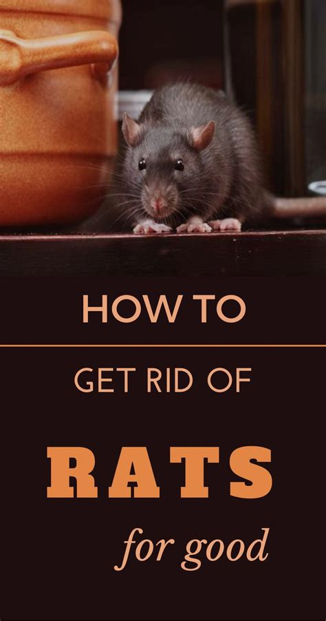 how to get rid of rats in the backyard 1000 best cleaning tips 101 images on pinterest how to