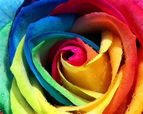 colorful roses colorful wallpapers hamzafiaz
