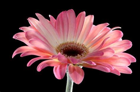 fiori e significato significato fiori gerbere rosa 1 fiore significato