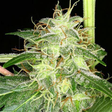 wann cannabis ernten erntezeitpunkt ernte trocknen hanf cannabis