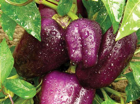 Paprika Ungu paprika ungu