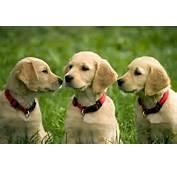 Puppies Of Golden Retriever  The Observation Deck