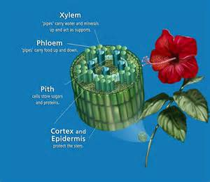 Xylem and phloem copyright by karen carr unless otherwise noted