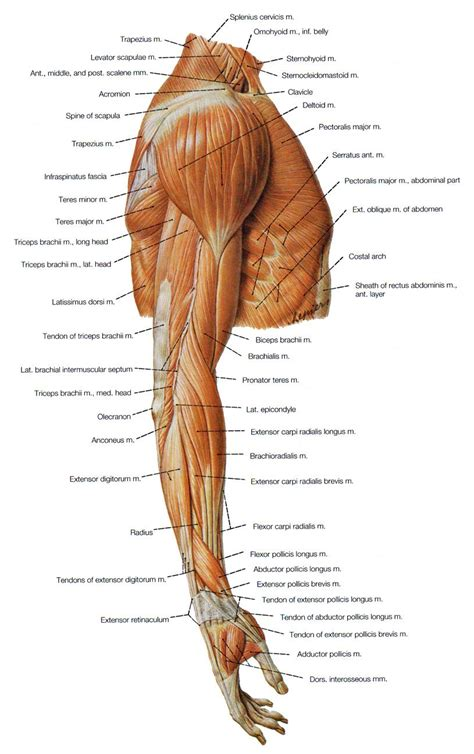 biceps diagram of the arm therapy arms