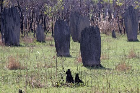 Termite Mounds Traduction