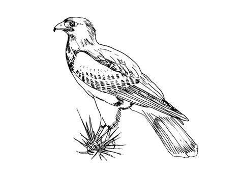 red tail hawk coloring pages