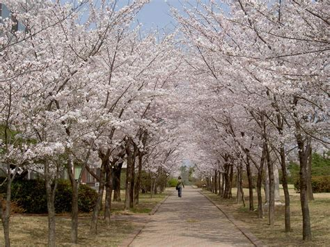 cherry tree national the history d c s cherry blossoms american forests