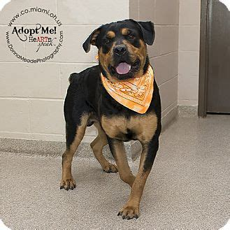 rottweiler rescues in ohio 1000 ideas about rottweiler mix on leopard terriers and black labs