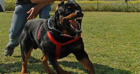 rottweiler guard guard dogs quotes