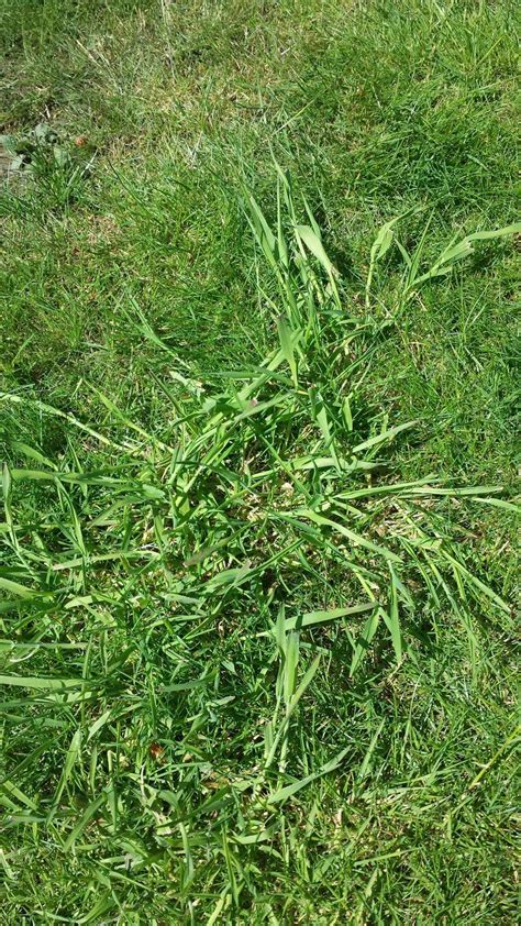 growing couch grass from seed what should i do about coarse thick grass growing in my
