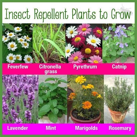 insect repellent plants to grow plants to grow