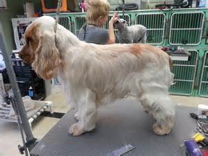Pin picture cocker spaniel cut out fotosearch search stock photos on