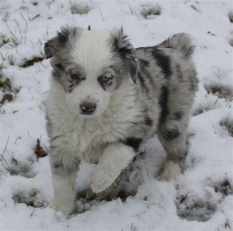 australian shepherd puppy cost australian shepherd puppy image in white gray and black jpg 1 comment hi res 720p hd