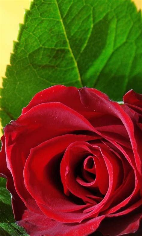 love roses  wallpaper android apps  google play
