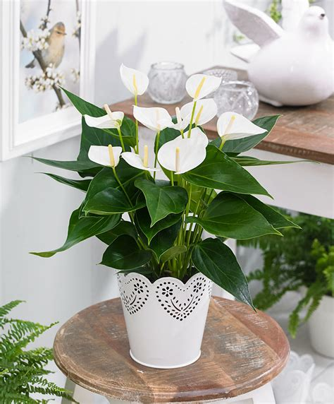 buy house plants buy house plants now anthurium elido bakker com