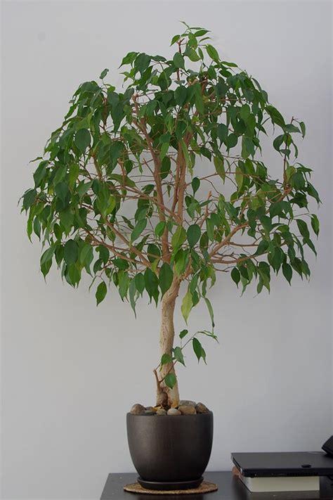 gartengerät rechen kreuzwort ficus benjamini bonsai gt birkenfeige ficus benjamini als