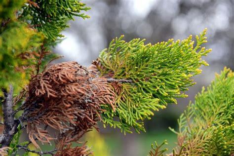 Scheinzypresse Pflege by Blaue Scheinzypresse 187 Pflanzen Pflegen Schneiden Und Mehr