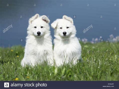 berger blanc suisse puppies white swiss shepherd berger blanc suisse two puppies together stock photo