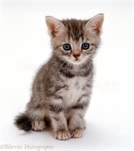 16496-Silver-tortoiseshell-<strong>kitten</strong>-white-background.jpg