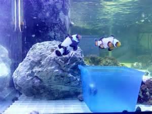 Black ice snowflake clownfish black snowflake and black ice
