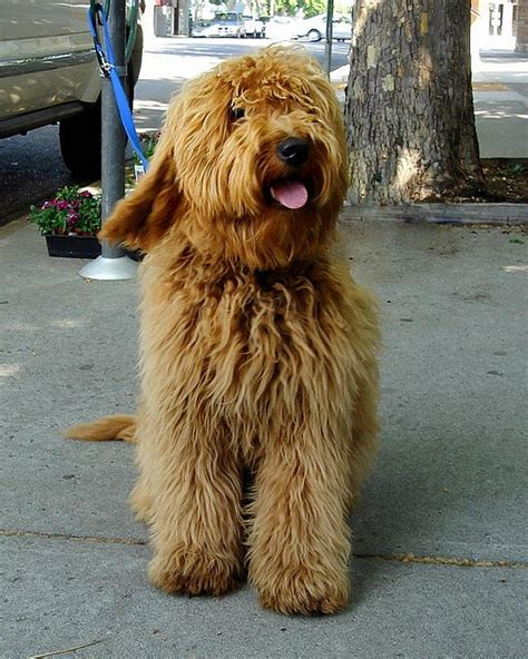 goldendoodle hair goldendoodle my favorite doodle and goldendoodles